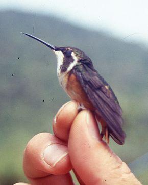 290px chaetocercus mulsanti