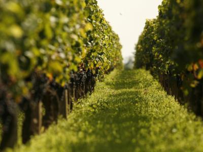 Balade dans les vignes bourgogne